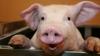 Un porc nu va mai ajunge în hala de carne după ce a evadat dintr-un camion (FOTO)