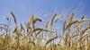 GALERIE FOTO de la seceriş! Fermierii au strâns prima roadă de grâu din acest an