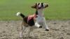 FERICIRE LA MAXIM! Un câine leşină de bucurie când îşi vede stăpâna după o lungă despărţire (VIDEO)
