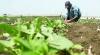 """""""Un sat întreg va sta flămând''. Mai mulţi agricultori din Sângerei s-au ales cu roada distrusă din cauza unui fermier"""