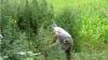 Un lan de cânepă dădea în floare la Anenii-Noi, dar a fost descoperit de poliţie