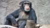 Cercetătorii au descifrat o parte din limbajul cimpanzeilor. Ce semnificaţie au anumite gesturi?