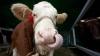 Furau animale de pe imaş şi le vindeau la carne. Făptaşii au mărturisit totul poliţiştilor (VIDEO)