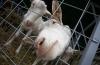 Animale domestice crescute în capitală. Vecinii fermierilor urbani sunt deranjaţi mai mult de capre (VIDEO)
