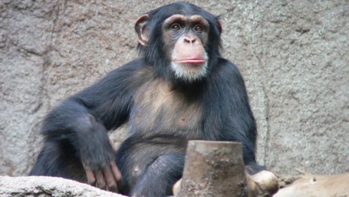 STUDIU: Cimpanzecii care trăiesc în captivitate au o durată medie de viaţă de circa 40 de ani