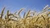 Producția de cereale din acest an va fi mai mare decât în 2013