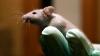 PREMIERĂ MONDIALĂ! Cercetătorii americani au creat în laborator șoareci transparenți