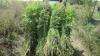 Plante de cânepă de peste jumătate de milion de lei, arse de oamenii legii la Drochia. Ce riscă proprietarul