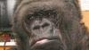POZE emoţionante cu gorila care deplânge pierderea prietenului său, Robin Williams
