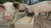 Guvernul a aprobat o serie de măsuri pentru combaterea și prevenirea răspândirii pestei porcine africane
