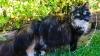 O pisică din California va ajunge în Cartea Recordurilor. Felina are cea mai lungă blană din lume