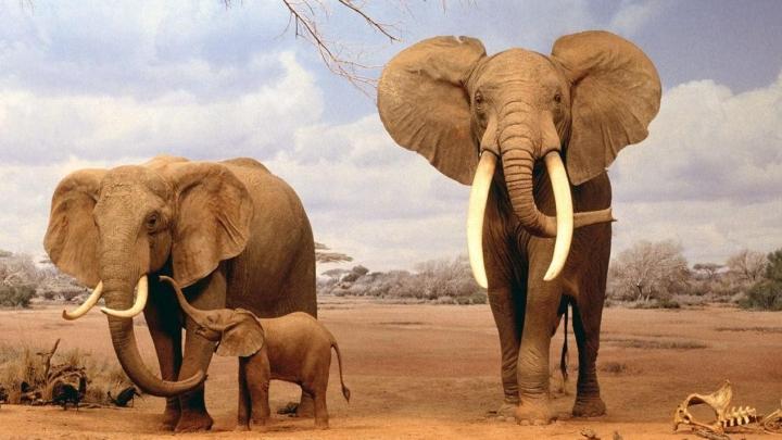 Studiu: A fost descoperită o nouă specie de elefanți. Câte categorii trăiesc pe Pământ