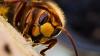Filmare inedită! Cum arată pe dinăuntru un cuib cu viespi? (VIDEO)
