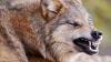 LUPII ATACĂ DIN NOU! După ce au sfâşiat 10 capre, prădătorii au omorât 10 iepuri în oraşul Cimişlia