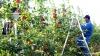 Guvernul va plăti mai puţini bani ca despăgubiri pentru restricţia Rusiei de a importa mere