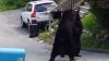 Doi urşi s-au bătut în plină stradă! Imaginile au devenit virale pe Internet (VIDEO)