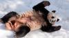 Amuzant! Cum se bucură un urs panda de prima zăpadă (VIDEO)
