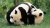 Meci de wrestling între doi ursuleţi panda. Niciun animal nu s-a lăsat bătut (VIDEO)