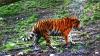 Un tigru dă târcoale Parisului. Poliţia îl caută în disperare sub privirele îngrijorate ale localnicilor
