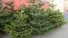 ''Sunt frumoși și stufoși''. Pomii de Crăciun au apărut în piețe, iar cumpărătorii nu s-au lăsat așteptați (VIDEO)