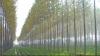 Tot mai multe afaceri cu plante energetice în Moldova. Antreprenorii obţin venituri de mii de lei