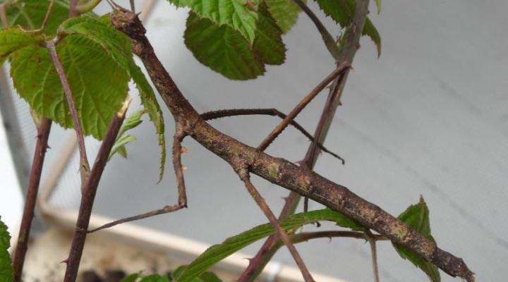Descoperire ciudată. Cum arată una dintre cele mai mari insecte din lume (FOTO)