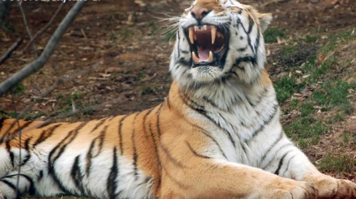 Tigrul lui Putin face ravagii. Fiara atacă tot ce-i stă în cale