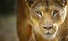 Criza nu-l afectează! Cum se descurcă leul moldovenesc de la Grădina Zoo din Chişinău