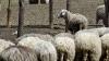 Un fermier a folosit abilităţile a 1.000 de oi pentru a celebra ziua naţională a ţării (VIDEO)