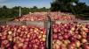 Peste 20 de tone de mere moldoveneşti, nimicite cu BULDOZERUL de ruşi (VIDEO)