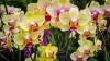 De ce se ofilesc brusc bobocii și florile de orhidee