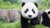 Toţi urşii panda de pe glob au fost adunaţi la un festival chinezesc (VIDEO)