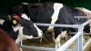Familiile nevoiaşe din Moldova ar putea primi gratis câte o vacă, numai cu o CONDIŢIE