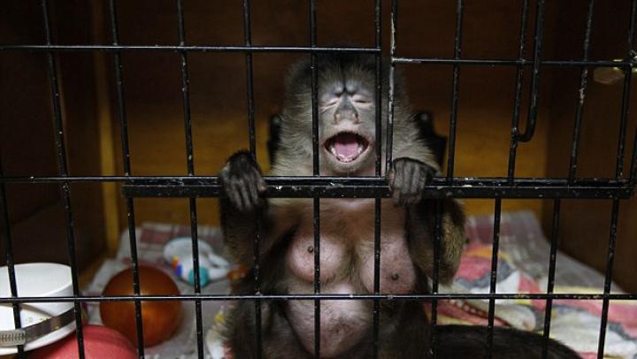 EMOŢIONANT! Ce se întâmplă când două maimuţe sunt recompensate diferit pentru aceeaşi muncă (VIDEO)