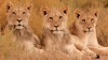 Au tras o sperietură ZDRAVĂNĂ! O leoaică deschide uşa maşinii unor turişti (VIDEO)