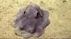 """Cum arată caracatița """"Dumbo"""", animăluțul-vedetă de pe rețelele de socializare (VIDEO)"""