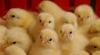 Primii pui de găină din acest an au apărut la ţară. Ce spun gospodarii