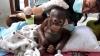 Revenire miraculoasă a unui pui de urangutan (VIDEO)
