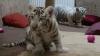 Doi pui de tigru albi din Ungaria au făcut prima vizită la medic (VIDEO)