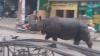 MOMENTE DRAMATICE! Un rinocer a făcut RAVAGII pe străzile unui oraş și a UCIS un om (VIDEO)