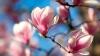 FRUMUSEŢE RARĂ! În Grădina Botanică din Capitală au înflorit magnoliile (VIDEO)
