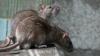 Cazul șobolanilor care mișună prin spitale. REACȚIA INCREDIBILĂ a ministrului Sănătăţii