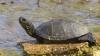 Broasca țestoasă de baltă, motiv de GLUME la Guvern. Argumentul viceguvernatorului BNM