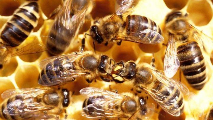 ÎNGRIJORĂTOR: Albinele au cunoscut un declin accentuat şi sunt afectate de o afecţiune mortală