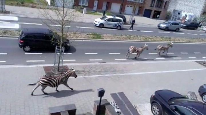 ÎN GOANĂ după zebre prin Bruxelles. Reacţia proprietarului e de-a dreptul HILARĂ