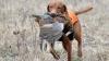 PREMIERĂ la Bălţi. Câini vânători şi-au arătat performanţele pe un poligon SPECIAL (VIDEO)