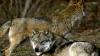 Scene șocante filmate în România! Doi lupi au dat târcoale unei căruțe în care erau mai mulți oameni