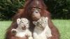 Familie modernă: Mama - urangutan, iar copiii - tigri (VIDEO)