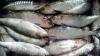 Veste tristă pentru pescari. Guvernul le-a pus PROHIBIŢIE la scrumbie