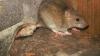 Soluții găsite de marile orașe ale lumii în lupta împotriva șobolanilor